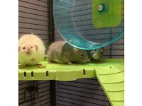 3 male rats and very large cage
