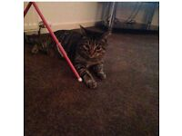 Gorgeous Tabby Cat Free Too Good Home