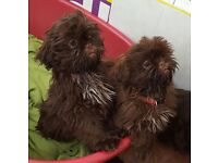 Chocolate Imperial Shih Tzu puppies for sale!