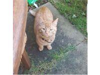 Missing ginger cat- Male