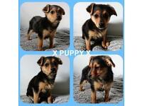 X Chorkie Puppy's X