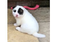 2 stunning pure Akita puppies left