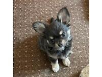 KC reg Chihuahua blue boy