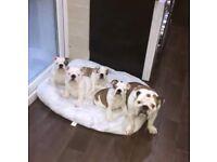 English Bulldog Puppies KC Reg