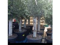 Large and healthy olive tree for bargain price