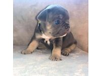 Lilac & tan & blue KC registered French bull dog pups all cream carries or sale all