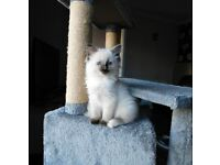 3 Purebred Ragdoll Kittens ready now