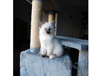 1 Girl Purebred Ragdoll Kitten ready now