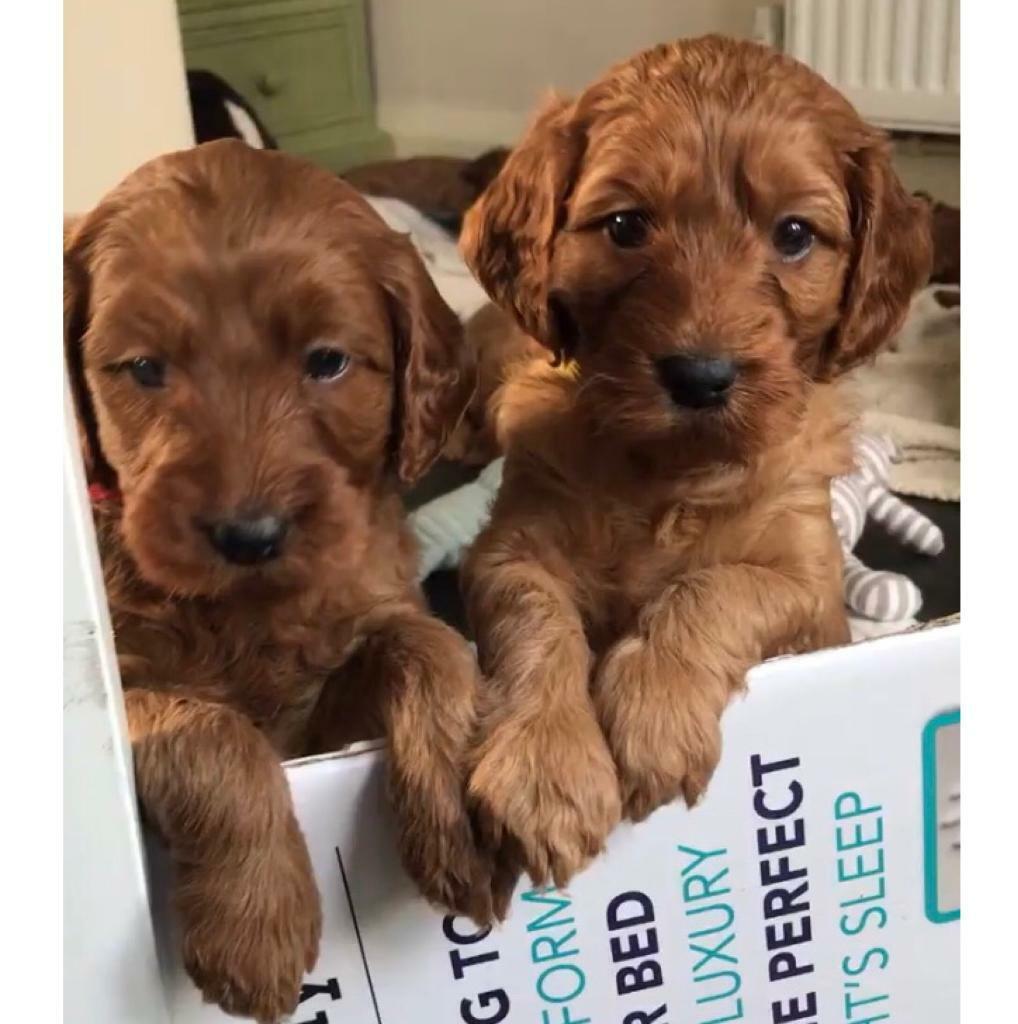 Irish Doodle Puppies (Extremely Rare) | in Chorlton, Manchester | Gumtree
