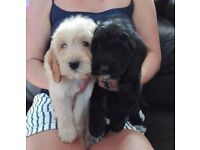 Adorable Cockapoo puppies For sale.