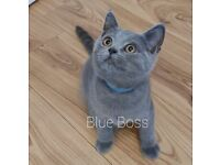 Full pedigree British shorthair kittens GCCF registered