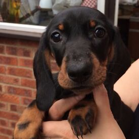 Dachshund Puppies 10 weeks old, Pedigree KC reg, Standard Size, Smooth haired black and tan