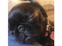 Female pug puppy PDE clear