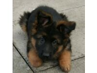 Gorgeous German Shepherd pups for sale