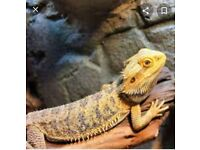 Looking to re-home my bearded dragon