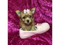 Morkie girl puppy now ready maltese Yorkie small dog
