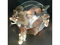Baby rats for sale both sexes available. £4 each . Studley Warwickshire. Collection only.