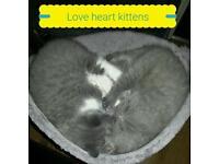 Ch sired British shorthair kittens boys x 2