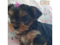 Puppies for sale Yorkshire Terriers/ Biewer Terriers