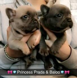 French Bulldog Puppies Ready December