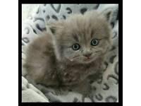 4 British pedigree blue kittens