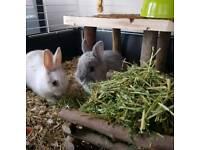 Netherland dwarf bunnies