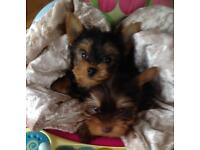 T cup Yorkie / Yorkshire terriers