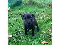 American xl bully puppies **last 2 left**