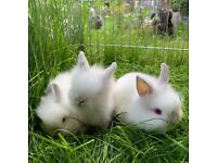 Lionhead baby rabbits