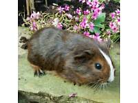 Guinea pigs (baby males)