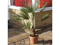 TROPICAL HARDY MEDITERRANEAN FAN PALM, CHAMAEROPS HUMILIS 112X122CMS ONLY £18, CAN DELIVER