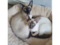 Stunning Traditional Pedigree Siamese kittens