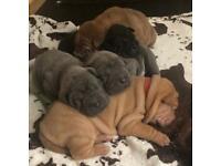 Gorgeous KC registered Shar Pei puppies