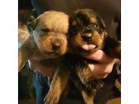 Rottweiler x dogue de bordeaux puppies