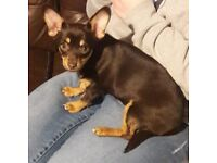 Chihuahua cross female pup
