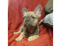 KC REGISTERED, GIRL FRENCH BULLDOG PUPPY FOR SALE, BLUE SABLE, ISABELLA CARRIER