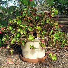 A large Cathedral Begonia. Arcadia Hornsby Area Preview