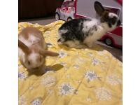 Male Mini Lop X Baby Rabbits