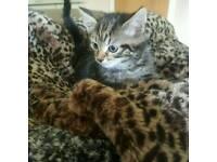 Cross bengal kittens