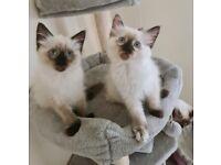 Beautiful Ragdoll Kittens
