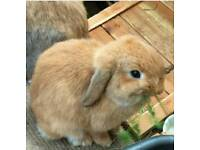Female friendly neutered miniature lop eared rabbit / Bunny