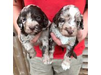 Cockerpoo Puppies F1