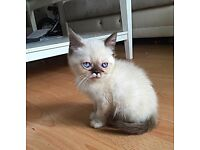 Ragdoll/excotic/Persian kitten