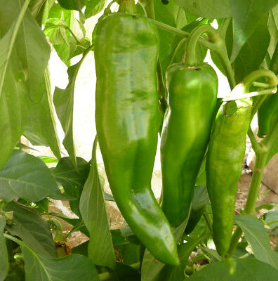 - Anaheim Chile Hot Pepper Seeds, NON-GMO, Variety Sizes, Chili, FREE SHIPPING