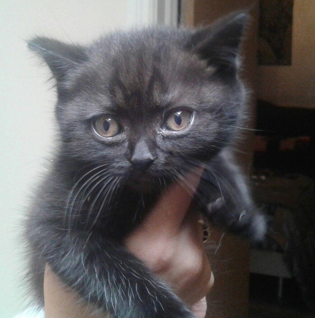 British shorthair and longhair kittens