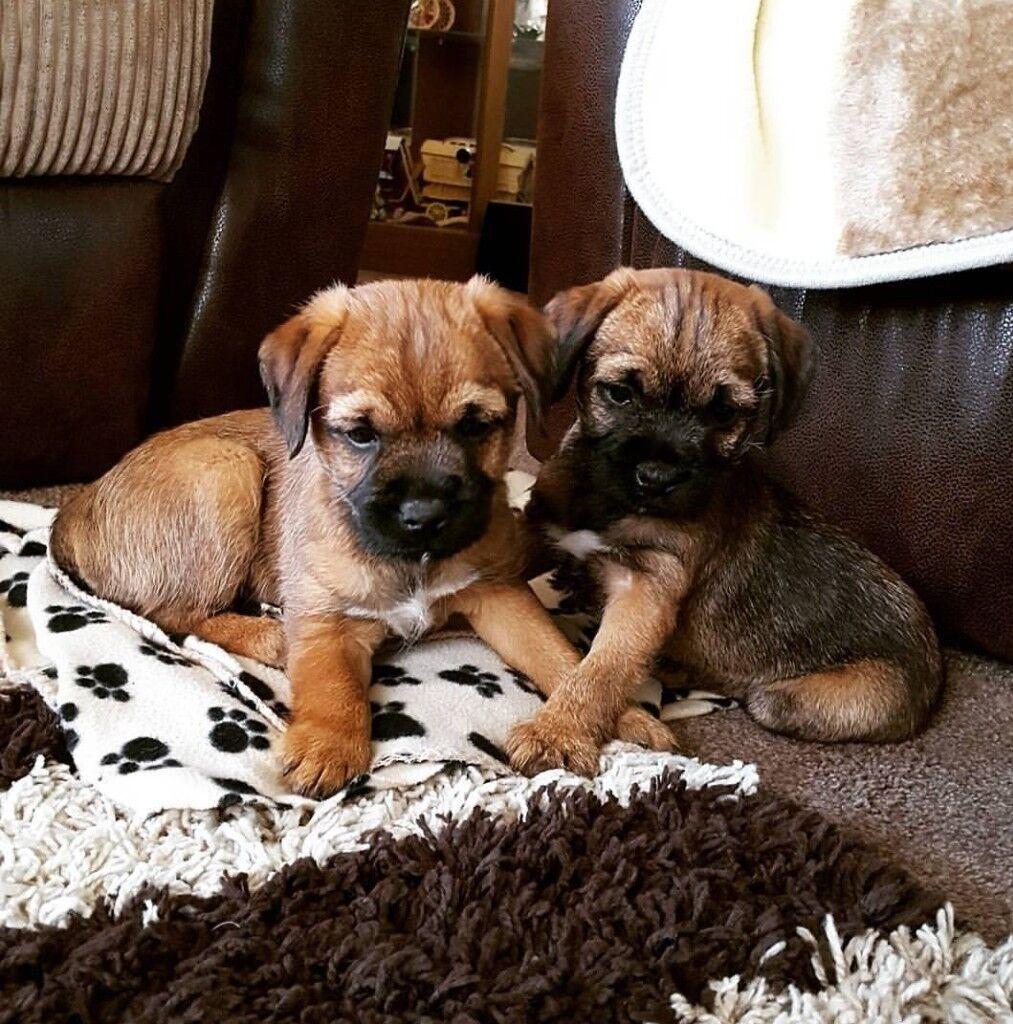 Stunning Border Terrier puppies | in Bishop Auckland, County Durham ... | Border Terrier Puppies In Glasgow