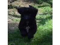 collie x poodle puppies