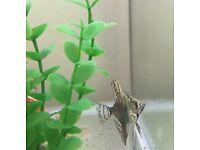 FREE!! Baby Angelfish and Baby Albino Rainbow Fish