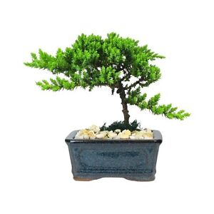 BONSAI Tree - 4 Year Old Japanese Juniper in 5