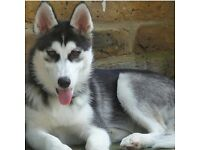 ADORABLE FEMALE HUSKY